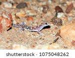 main's ground gecko  lucasium...   Shutterstock . vector #1075048262