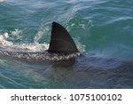 dorsal fin of great white shark ... | Shutterstock . vector #1075100102