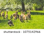 Small photo of Goats herded by border collie