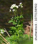 Small photo of Cardamine amara, Large bittercress, Large bitter-cress plant, family Brassicaceae, documentary photo