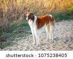 Russian Wolfhound Dog  Borzoi...