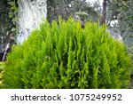 conifer green nature background | Shutterstock . vector #1075249952