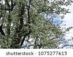 big blossom white tree on sky... | Shutterstock . vector #1075277615