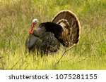 Turkey Looking For A Mate
