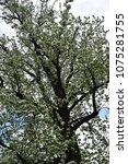 great blossom white tree on sky ... | Shutterstock . vector #1075281755