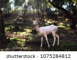 White fallow deer standing in a forest with sunlight piercing through the trees