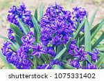 Hyacinth Plant In Blue Blossom...