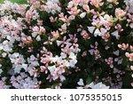 beautiful white flowers of... | Shutterstock . vector #1075355015