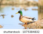 wild duck swimming in nature... | Shutterstock . vector #1075384832