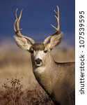 Small photo of Mule Deer Buck portrait, in warm evening light with striking blue background