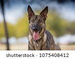 german shepherd dog at the park | Shutterstock . vector #1075408412