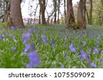 english bluebells  wild...   Shutterstock . vector #1075509092