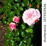 beautiful pale pink heritage...   Shutterstock . vector #1075529636