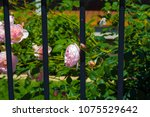beautiful pale pink heritage... | Shutterstock . vector #1075529642