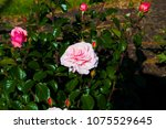 beautiful pale pink heritage... | Shutterstock . vector #1075529645