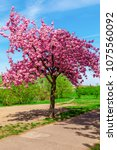 cherry blossom tree in spring | Shutterstock . vector #1075560092