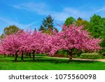 cherry blossom tree in spring | Shutterstock . vector #1075560098