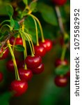 sour cherry fruits hanging on... | Shutterstock . vector #1075582952