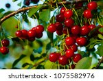 sour cherry fruits hanging on...   Shutterstock . vector #1075582976