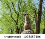 meerkats in the zoo | Shutterstock . vector #1075657106
