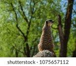 meerkats in the zoo | Shutterstock . vector #1075657112