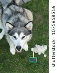 Small photo of Molting in dog. Molt season: Alaskan malamute and brush with combed undercoat.