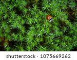 the star shaped green moss with ... | Shutterstock . vector #1075669262