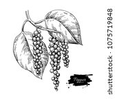 black pepper plant branch... | Shutterstock .eps vector #1075719848