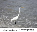 great white egret wading on the ... | Shutterstock . vector #1075747676