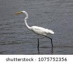 great white egret wading in... | Shutterstock . vector #1075752356