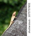 lizard basking on coconut tree... | Shutterstock . vector #1075757852