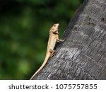lizard basking on coconut tree... | Shutterstock . vector #1075757855