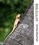 lizard basking on coconut tree... | Shutterstock . vector #1075757858
