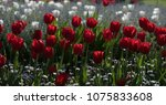 natural background  tulip in... | Shutterstock . vector #1075833608