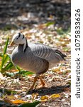 Small photo of The bar-headed goose is named for the two conspicuous dark bars running around the back of its white head.