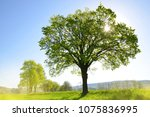 old tree on meadow. sunny... | Shutterstock . vector #1075836995