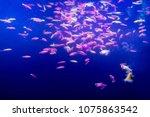 Small photo of Blurred background. Many small fish Ornatus in a dark aquarium. Ternary in the Aquarium