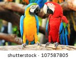 Colorful Couple Macaws Sitting...