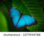blue morpho  morpho peleides ...   Shutterstock . vector #1075944788