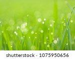 morning dew droplets on blades... | Shutterstock . vector #1075950656