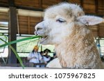 alpaca is eating grass in corral | Shutterstock . vector #1075967825