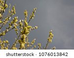 Many Yellow Male Willow Catkins ...