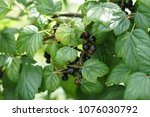 black currant growing in the... | Shutterstock . vector #1076030792
