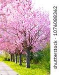 cherry blossom   sakura with... | Shutterstock . vector #1076088362