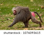 The Baboon Monkey Runs Along...