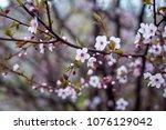 beautiful spring blooming tree... | Shutterstock . vector #1076129042