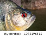 head of a black piranha out of... | Shutterstock . vector #1076196512