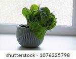 Maranta Leuconeura Plant In...
