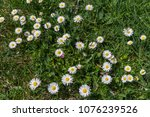 white daisies on a meadow... | Shutterstock . vector #1076239526