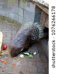 The crested porcupine (Hystrix cristata) is a species of rodent in the family Hystricidae found in Italy, North Africa, and sub-Saharan Africa
